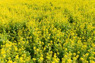 菜の花畑の写真素材 [FYI01240222]