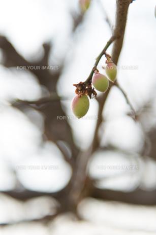 梅の写真素材 [FYI01240264]