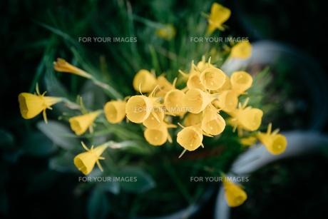黄色い花の写真素材 [FYI01240296]