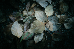 落ち葉の写真素材 [FYI01240299]