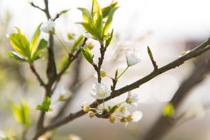 桜の写真素材 [FYI01240319]