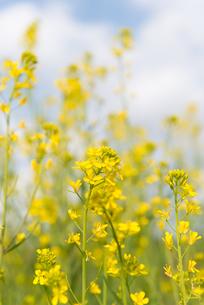菜の花の写真素材 [FYI01240322]