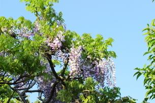 青空に映える薄紫色の藤の花の写真素材 [FYI01240323]
