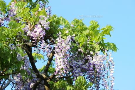 青空に映える薄紫色の藤の花の写真素材 [FYI01240324]