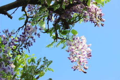 青空に映える薄紫色の藤の花の写真素材 [FYI01240325]