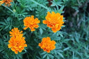 オレンジ色の花の写真素材 [FYI01240357]