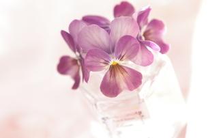 小ビンに挿した紫のビオラの写真素材 [FYI01240414]