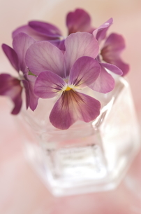 小ビンに挿した紫のビオラの写真素材 [FYI01240416]