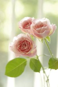 屋内のピンクのバラの写真素材 [FYI01240417]