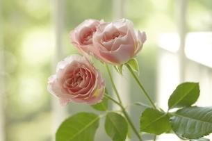 屋内のピンクのバラの写真素材 [FYI01240418]