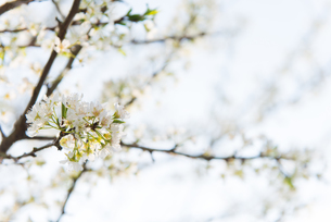 桜の写真素材 [FYI01240426]