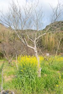 菜の花と田舎の風景の写真素材 [FYI01240430]