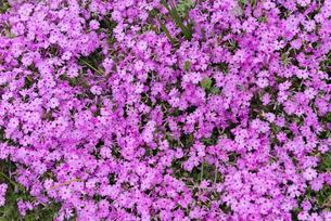 ピンク色の小花の写真素材 [FYI01240432]
