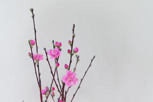 桃の花の写真素材 [FYI01240452]