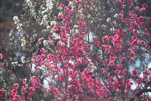 梅の写真素材 [FYI01240491]