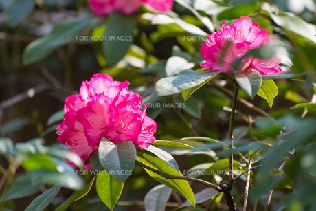 ピンク色の花の写真素材 [FYI01240523]
