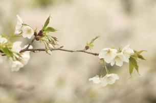 仙台枝垂れ桜の写真素材 [FYI01240560]
