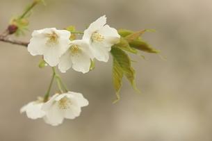 仙台枝垂れ桜の写真素材 [FYI01240561]