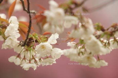 仙台枝垂れ桜の写真素材 [FYI01240565]