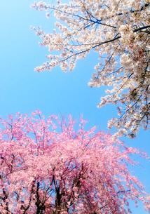 桜二種の写真素材 [FYI01240570]