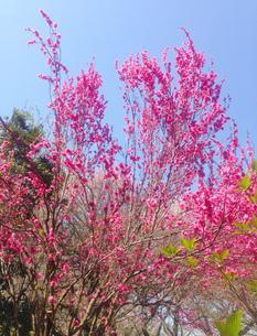 桃の花の写真素材 [FYI01240572]