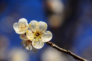 Japanese Ume blossoms under the blue sky.の写真素材 [FYI01240579]