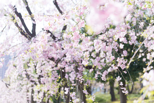 枝垂桜の写真素材 [FYI01240628]