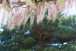藤の花の写真素材 [FYI01240679]