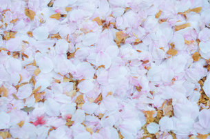 桜の花びらの写真素材 [FYI01240685]