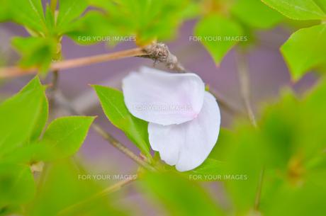 桜の花びらの写真素材 [FYI01240686]