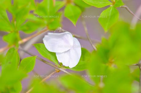 桜の花びらの写真素材 [FYI01240687]