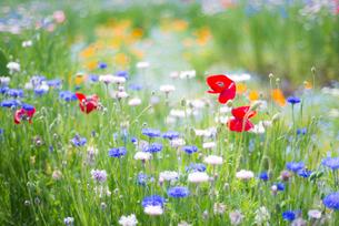 花畑の写真素材 [FYI01240731]