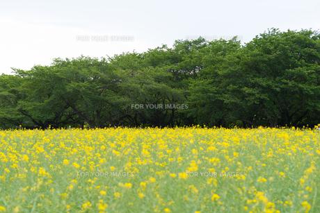 菜の花畑の写真素材 [FYI01240742]