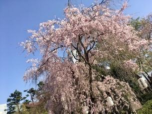 満開の桜の木 春の写真素材 [FYI01240806]