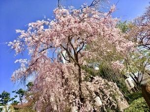 満開の桜の木 春の写真素材 [FYI01240807]