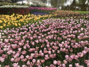 公園のチューリップ畑 春 満開の写真素材 [FYI01240808]