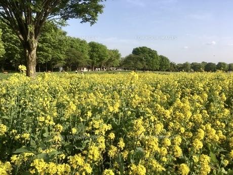 公園の菜の花 春の写真素材 [FYI01240810]