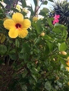 沖縄のハイビスカスの写真素材 [FYI01240811]