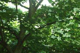 ヤマボウシの写真素材 [FYI01240819]