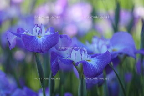 花菖蒲の写真素材 [FYI01240825]