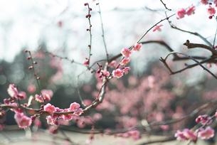梅の写真素材 [FYI01240901]