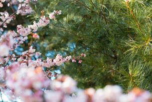 桜の写真素材 [FYI01240908]
