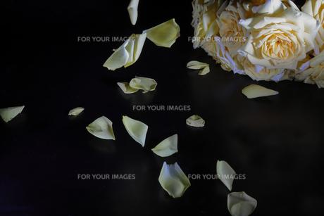 薔薇の花びらの写真素材 [FYI01240956]