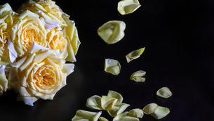 薔薇の花びらの写真素材 [FYI01240957]