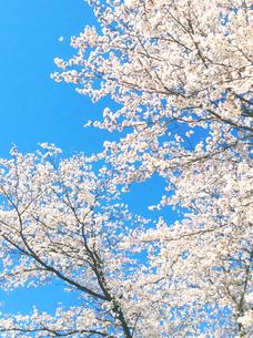 満開の桜の写真素材 [FYI01241017]