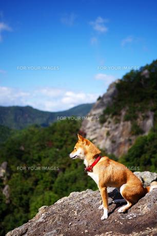 遠くを見つめる犬の写真素材 [FYI01241060]