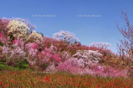 花見山の写真素材 [FYI01241061]