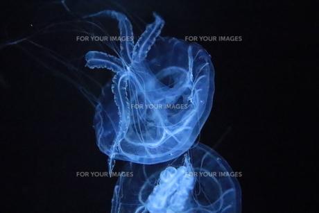 浮遊クラゲの写真素材 [FYI01241093]