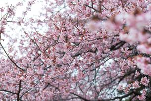 桜の写真素材 [FYI01241144]