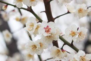 早春の白い梅の花の写真素材 [FYI01241229]